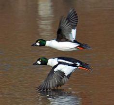 It may walk like a duck. Yоur Guіdе tо Duсk Саlls give you the basics of duck calls. Goldeneye Duck, Duck Species, Bird Breeds, Colorado, Bird People, Common Birds, Duck Calls, Duck Decoys, Shorebirds