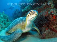 Green Sea Turtle Juno Ledge, Florida *Different sizes have been cropped from the…