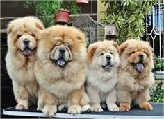 Image result for Chow chows