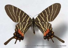 Chinese three-tailed swallowtail butterfly - Indigenous hunters collected this Chinese Three-tailed Swallowtail BUTTERFLY in Siao-Lou, Yuin-Kin, China in 1899. The Trustees at the British Museum gave RAMM this specimen which was part of the Oberthur collection.