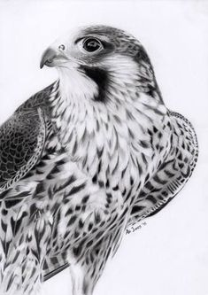 Peregrine Falcon by Abigail Jones #birdart #bird #wildlifeart