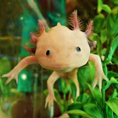 They can live up to 15 years in a cozy tank at home. | 16 Facts You Probably Didn't Know About Axolotls