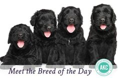 Meet the Black Russian Terrier‬. A breed described as powerful, intelligent, and calm– why do you love the breed?