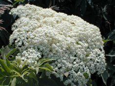 Kansas Wildflowers and Grasses - American elderberry Grasses, Wildflowers, Kansas, Trees, Backyard, Gardening, Canning, American, Plants