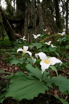 Trillium, it's gorgeous- Michigan woods are full of this wildflower. Find it in the Mackinac Island State Park in spring!