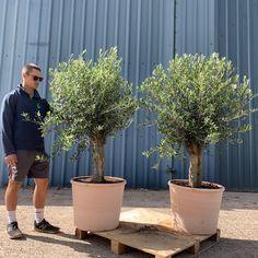 Garden Shrubs, Garden Planters, Outdoor Garden Decor, Outdoor Gardens, Back Gardens, Small Gardens, White Hydrangea Garden, Buy Olive Tree, Australian Native Garden