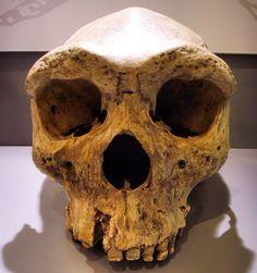 Molde de cráneo Broken Hill (Homo rhodesiensis), un fósil datado entre 300.000 y…