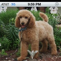 My future dog Standard Poodles, Future, Dogs, Animals, Future Tense, Animales, Animaux, Pet Dogs, Doggies