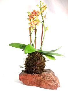 KOKEDAMA PHOENIX   Kokedama orchid available online...  #Arizona #handmade #kokedama #Japanese #mossball #orchid #floral #design #beauty