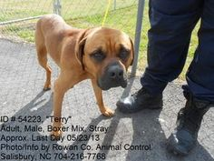 Terry - ID # 54223 is an adopted Boxer Dog in Salisbury, NC. All animals at this shelter are URGENT!!! The minimal cost for an adoption at the shelter is $70.00 which is a down payment towards the spa...