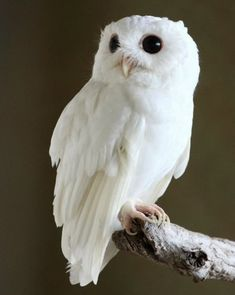 Albino Eastern Screech Owl...oh good grief...the cuteness/sweetness never ends! I must be fallin' for their cute eyes! *sigh*