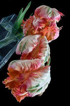Parrot Tulips - Winter/Spring