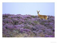 Roe Deer, Doe on Heather Moor in Late Summer, Scotland