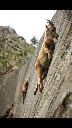 Mountain goats just amaze me!  I find them to be fascinating!