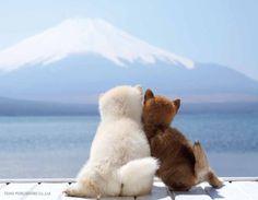Akita and Shiba Inu pups Animals And Pets, Baby Animals, Funny Animals, Cute Animals, Cute Puppies, Cute Dogs, Dogs And Puppies, Doggies, Chien Shiba Inu