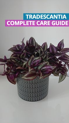 Tradescantia Zebrina (Wandering Jew Plant / Inch Plant) The Wandering Jew, Inch Plant or Zebrina is an easy care and this tells you everything you need to know Easy House Plants, Easy Care Plants, Flowering House Plants, Smart Garden, Garden Care, Bonsai, Types Of Houseplants, Wandering Jew, Flower Pot Design