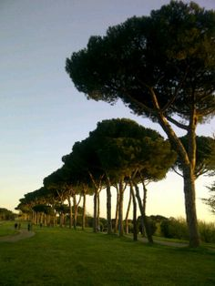 The umbrella pines of Rome at sunset.