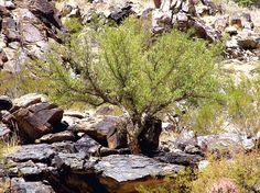 Bursera microphylla on southern slope at South Mountain Municipal Park, Phoenix, Arizona. October 2008.