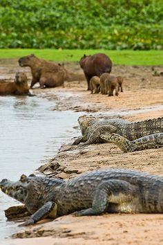 Capibara's en kaaimannen aan de oever van de Paraguay rivier in het zuiden van Brazilië (foto: Richard Denyer)