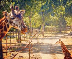 There's one in every family SNAP: livedreamwander #livedreamwander #travel #instatravel #traveller #lonelyplanet  #travelgram #instatraveling #travelblogger #solotravel #wanderlust #photography #photooftheday  #iamtb #california #adventure  #travelbug #love  #travellove  #fun #amazing #tour #giraffe #safariwest #trip #cheeky #theresalwaysone Travel Bugs, Lonely Planet, Solo Travel, Giraffe, Safari, California, Tours, Adventure, Jun