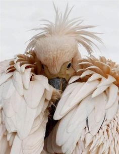 Pelican with closed wings to keep warm