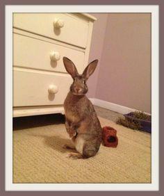 Cha Cha #rabbit #rescue #gville