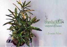 Kokedama Crotón Fideo  Consultas: eve@verdejade.com  www.VerdeJade.com