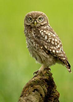 Little Owl by Giedrius Stakauskas, via 500px