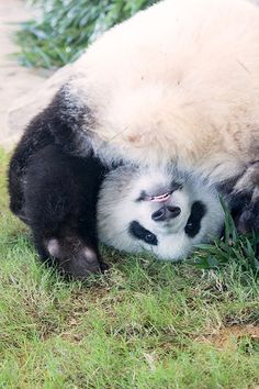 優浜 (ゆうひん) Yuhin, female giant panda born in 2012 at Shirahama Adventure World, Wakayama, Japan