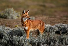 Ethiopian wolf, or Simien jackal. Although related to wolves, coyotes and jackals, it is it's own species.