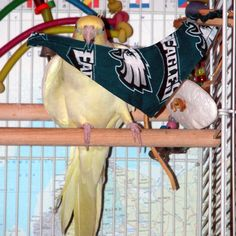 Go Birds! #eagles #eaglesnation #philadelphiaeagles #philadelphia #cockatiel #cockatiels #cockatielstagram #cockatiellove #ilovemyparrot #football #birds