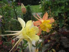 a.chrysantha und die kleinere shockleyi