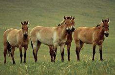 Oldest Sequenced Genome Sheds Light on Horse Evolution
