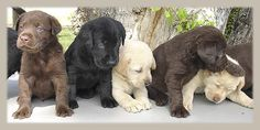 I want one of them! anim, black chocolate yellow lab, cutest dogs, boyfriend, chocolate labs, colors, puppiesbecaus varieti, lab puppiesbecaus, black yellow