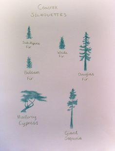 Waldorf ~ 5th grade ~ Botany ~ Conifers ~ main lesson book