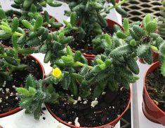 Flowering Succulents, Cactus Y Suculentas, Houseplants, Fruit, Gardening, Potted Herb Gardens, Gardens, Wall Trellis, Cactus Plants