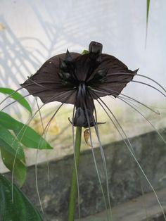 Black Bat Flower, Tacca Chantrieri