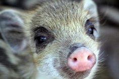 Wild boar baby~