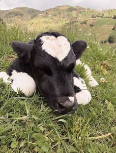 Baby Farm Animals, Baby Cows, Baby Animals Pictures, Cute Animal Photos, Cute Little Animals, Cute Funny Animals, Animals And Pets, Cute Baby Cow, Cute Cows