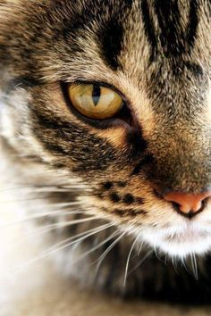 Serious brown tabby and white face. Must be hunting something. Probably your feet.