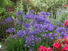 Cette fleur à l'allure exotique est devenue en quelques années une des plantes préférées des paysagistes. Découvrez comment mettre en valeur l'agapanthe et créer facilement des scènes réussies dans votre jardin. Avec des variétés qui ne craignent pas le gel...