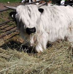Our Little Acres specializes in Mini Cows for sale. We breed and sell miniature Highland cows and Fainting Goats in Wisconsin. Featuring Micro Mini cows for sale. Cute Baby Cow, Baby Cows, Cute Cows, Baby Elephants, Baby Baby, Miniature Cow Breeds, Miniature Cattle, Miniature Cows For Sale, Mini Cows For Sale