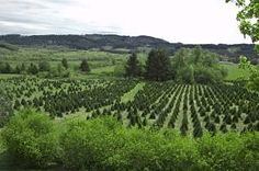If you're looking for a profitable cash crop for your small acreage, consider growing Christmas trees. They are a low maintenance crop, ideal for a spare time project, and can produce a good income for years to come. By planting a portion of your acreage with new trees each year, it will provide …