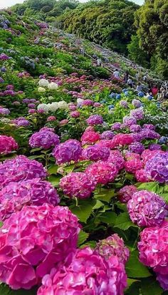 Fotó Hortensia Hydrangea, Hydrangea Garden, Hydrangea Flower, Beautiful Landscapes, Beautiful Gardens, Flower Landscape, Photos Voyages, Flowers Nature, Amazing Nature