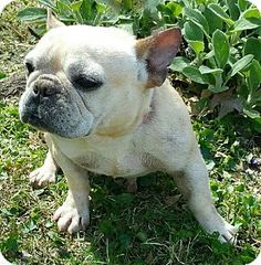 Pictures of Margo a French Bulldog for adoption in Bridgeton, MO who needs a loving home.
