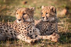 Mother & Daughter at sunrise.   Masai Mara.   Kenya.    More cheetahs: http://www.ingogerlach.com/die-jagd-der-gepardenbrueder