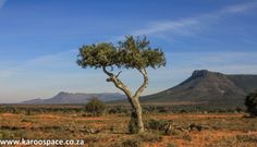 A shepherd's tree on the plains of Camdeboo. Out Of Africa, Animal Paintings, Beautiful Landscapes, Monument Valley, Places To Visit, Country Roads, Pictures, Photos, World