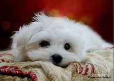 hermes The Maltese Greeting Card featuring the mixed media Hermes The Maltese by Morag Bates