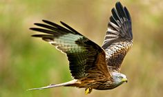 Red Kite: Saved from extinction by a long campaign. Now 2,000 pairs nest in the UK. Photograph: David J Slater/Alamy