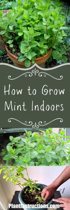 Herbs Gardening Just in time for fresh, summery cocktails! - Learn how to grow mint indoors the easy way! Mint is very low maintenance, and adds a fresh scent all throughout your home! Indoor Vegetable Gardening, Hydroponic Gardening, Gardening Tips, Container Gardening, Texas Gardening, Greenhouse Gardening, Growing Herbs Indoors, Growing Plants, Growing Vegetables